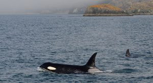 Orcas Surfacing in Puget Sound - Allen Warren