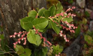 https://commons.wikimedia.org/wiki/Gaultheria_shallon#/media/File:Gaultheria_shallon_1676.JPG