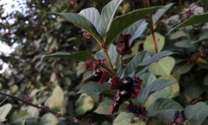 Black Twinberry Leaves and Berries
