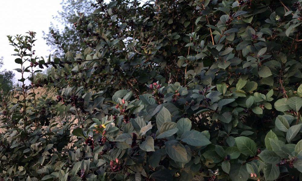 Black Twinberry