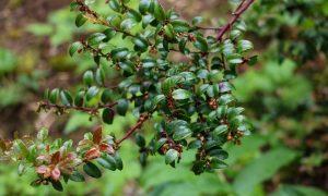 Photo of Evergreen Huckleberry