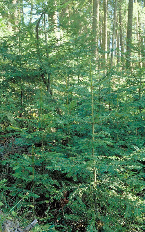 By Chris Schnepf, University of Idaho, United States - This image is Image Number 1171049 at Forestry Images, a source for forest health, natural resources and silviculture images operated by The Bugwood Network at the University of Georgia and the USDA Forest Service., CC BY 3.0 us https://commons.wikimedia.org/w/index.php?curid=8371520