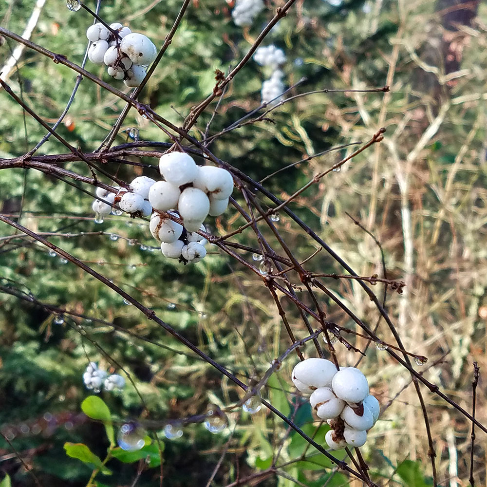 Snowberry in winter, Mary Johnson photo