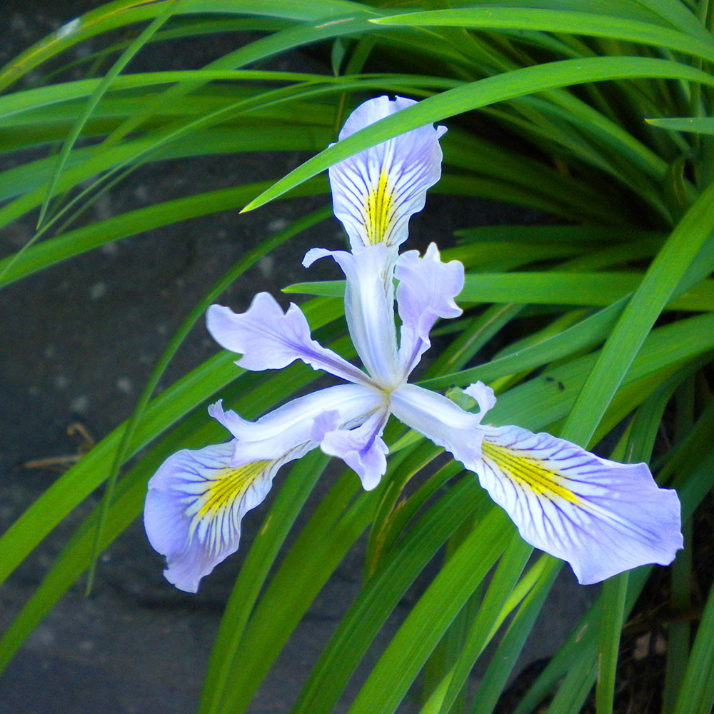Native Oregon Iris, Mary Johnson photo