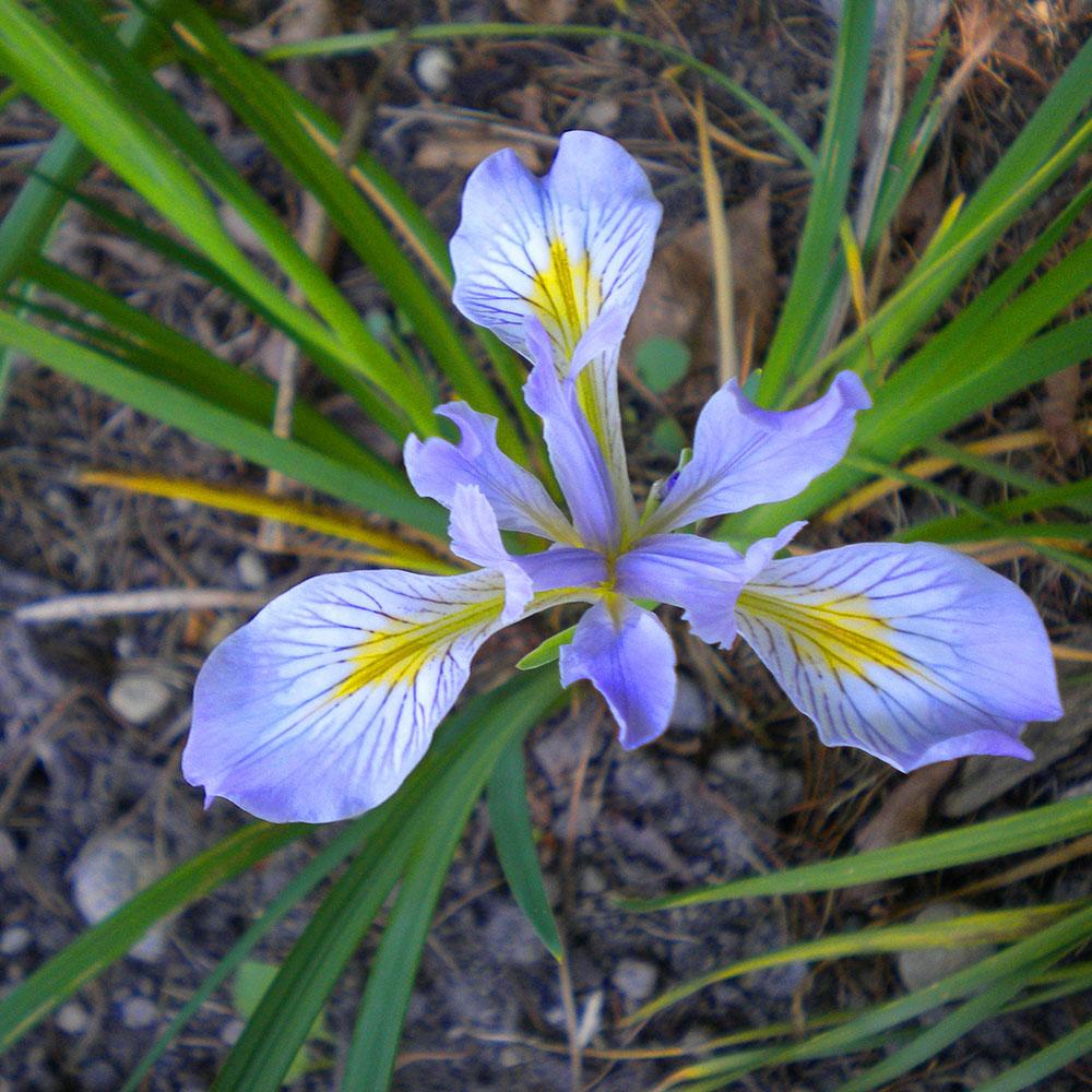 Native Oregon Iris, Mary Johnson photo