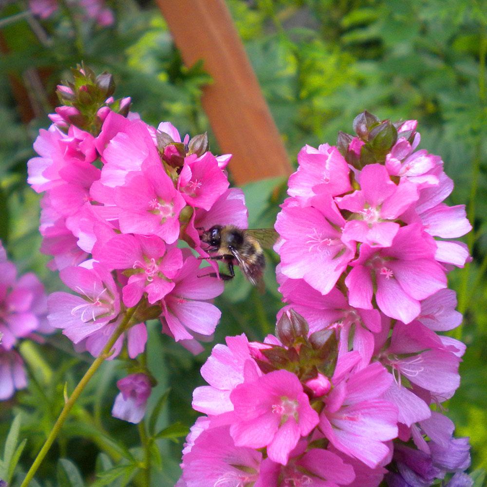 Bumblebee, Mary Johnson photo