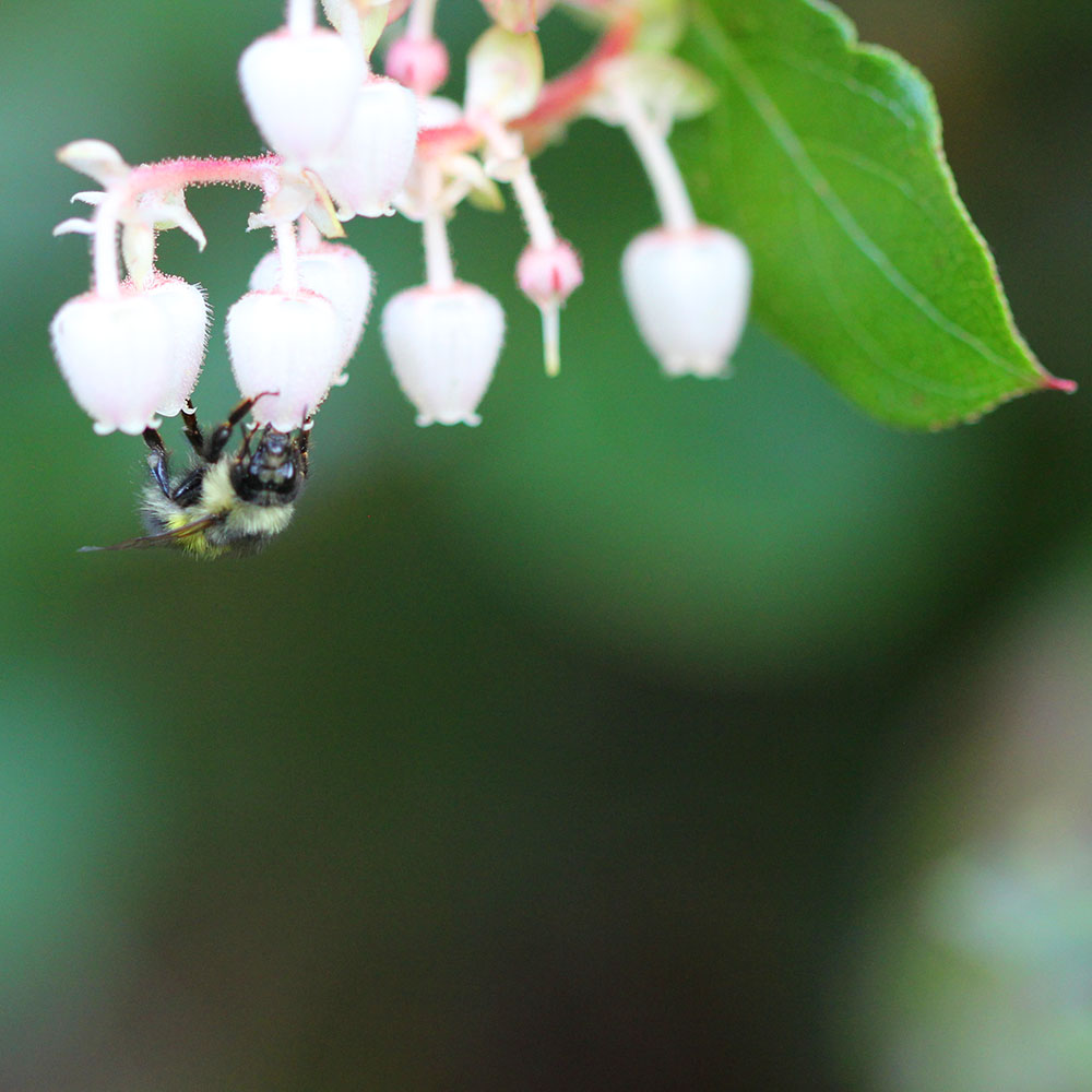Bumblebee on Salal flowers, Mary Johnson photo