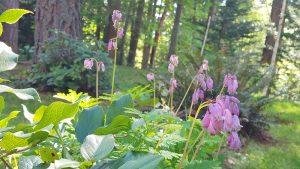 Bleeding Heart and other native plants, Mary Johnson photo